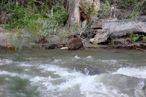 Beaver a