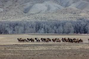Elk a