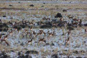 Antelope a