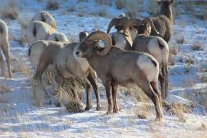 Big Horn Sheep a