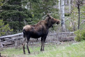 Moose a
