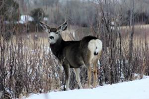 Mule Deer b